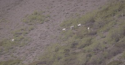 4K Dall Sheep grazing on mountain side, Tighter Shot - SLOG2 NOT Colour Corrected