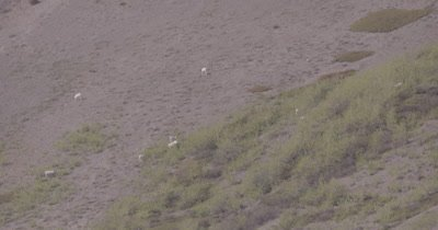 4K Dall Sheep grazing in brush on mountain side, extreme long lens - SLOG2
