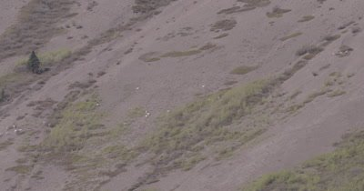 4K Dall Sheep grazing/crossing on mountain side, Wide Shot - SLOG2