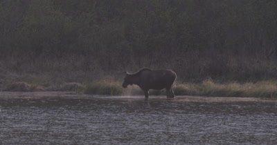 4K Moose along lake far off drinking water, extreme Long Shot - SLOG2 NOT Colour Corrected