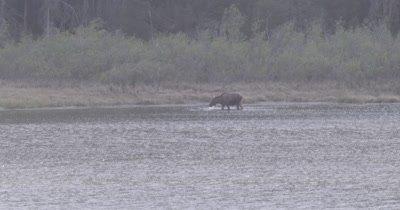 4K moose eating in lake far off, extreme Long Shot - SLOG2 NOT Colour Corrected