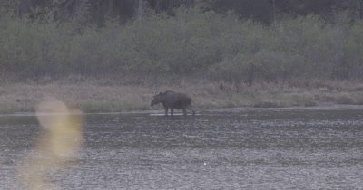 4K Moose eating at edge of late after sunset, Slow Motion - SLOG2 NOT Colour Corrected