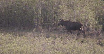 4K Moose along forest in grass walking eating grass, Tilt down, Slow Motion - SLOG2