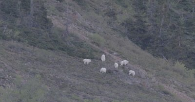 4K Mountain Goat herd grazing on hill side climbing, Slow Motion - SLOG2 NOT Colour Corrected