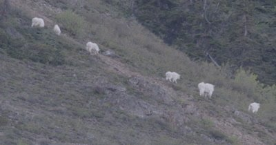 4K Mountain Goat six grazing on hill side climbing, tighter shot - SLOG2
