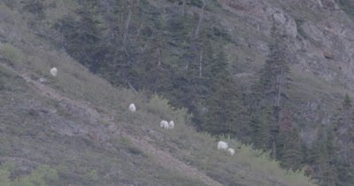 4K Mountain Goats pan with six grazing on hill side, tighter shot - SLOG2
