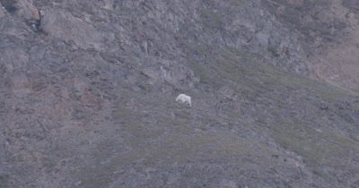 4K Mountain Goat grazing on hill side climbing up, tighter shot - SLOG2