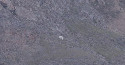 4K Mountain Goat grazing on hill side, zoom out extreme wide - SLOG2