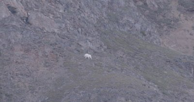 4K Mountain Goat grazing on hill side climbing up, zoom in from extreme wide - SLOG2
