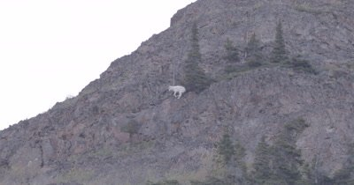 4K Mountain Goat standing on ledge climbing at top of mountain, zoom out extreme wide - SLOG2