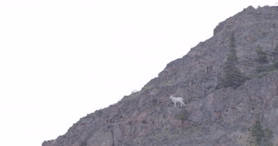 4K Mountain Goat standing on ledge top of mountain, zoom in - SLOG2 NOT Colour Corrected