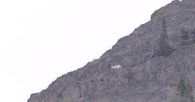 4K Mountain Goat standing on ledge climbing down mountain, exists frame - SLOG2