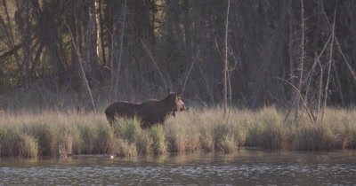4K Moose in grass side of lake chewing, ducks float by, sunset, Slow Motion - SLOG2