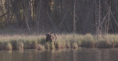 4K Moose in grass eating side of lake, ducks float by, sunset - SLOG2 NOT Colour Corrected