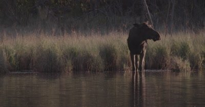 4K lone Moose slow motion eating under water in lake near sunset static - SLOG2 NOT colour corrected