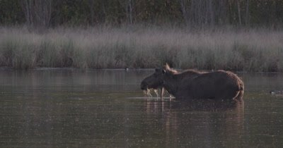 4k lone Moose eating under water in lake with ducks swimming around near sunset static - SLOG2 NOT colour corrected