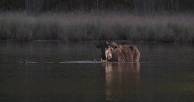 4K lone Moose slow motion eating under water raises head shakes water off with ducks swimming around near sunset static - SLOG2 NOT colour corrected