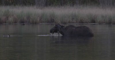 4K lone Moose slow motion head under water long time eating in lake low light after sunset static - SLOG2 NOT colour corrected
