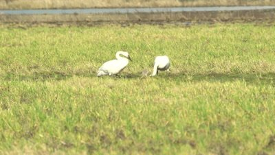 4K Trumpeter swans, pair feeding in swampy grass - NOT Colour Corrected