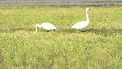 4K Trumpeter swans feeding in swampy grass, pan across several - NOT Colour Corrected