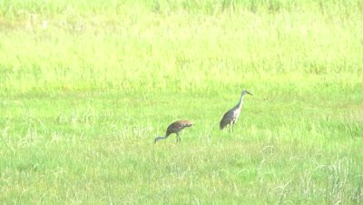 4K Sand Crane with chicks in tall grass - SLOG2