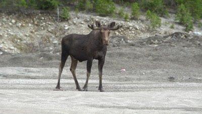 4K Moose Male/Buck velvet horns, standing in sand pit staring at camera - NOT Colour Corrected