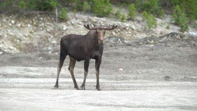 4K Moose Male/Buck velvet horns, standing in sand pit, nibbling at sand - NOT Colour Corrected
