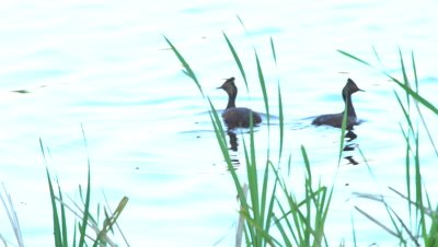 4K grebe, two behind grass, dive and exist frame  - NOT Colour Corrected