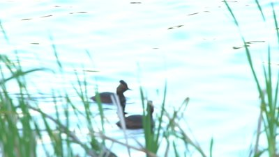 4K Grebe, two swim along lake shore behind grass, dive and exist frame  - NOT Colour Corrected
