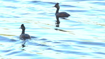 4K Grebe, two swimming in sunset on lake, zoom out  - NOT Colour Corrected