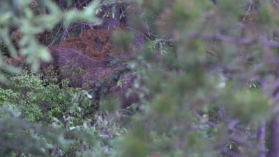 4K moose, mother and baby calf hiding in bush, pan back and forth - NOT Colour Corrected