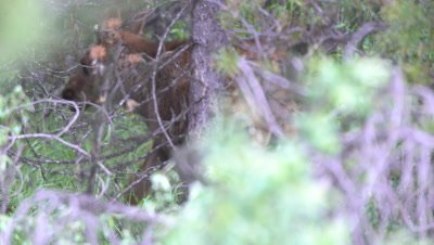 4K moose baby calf walking in forest, exits frame - NOT Colour Corrected