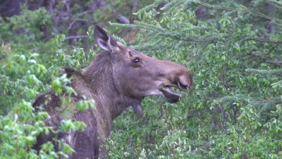 4K Moose female eating willow hidden in forest, tight shot - NOT Colour Corrected