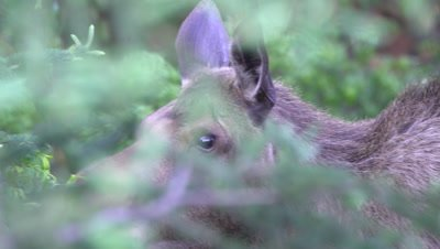 4K Moose female eating willow hidden in forest, Close Up - NOT Colour Corrected
