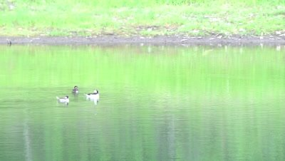 4K Bufflehead three ducks swimming in lake - NOT Colour Corrected