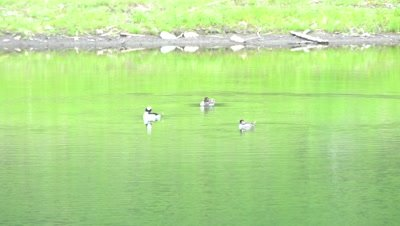 4K Bufflehead three ducks swimming in lake - NOT Colour Corrected