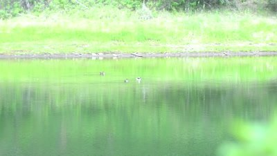 4K Bufflehead three ducks swimming in lake, Wider Shot - NOT Colour Corrected