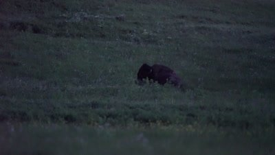 4K Wood Bison laying in grass at night, pan in - NOT Colour Corrected