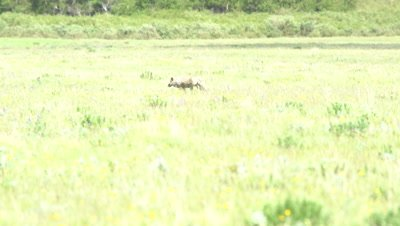 4K Grey Wolf walk across Grass land, Hand Held - NOT Colour Corrected