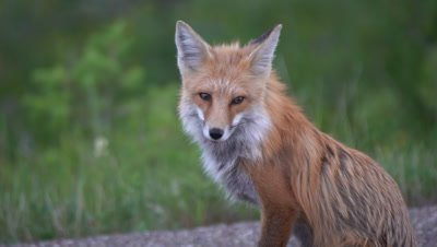 4K Red Fox sitting and watching, hand held, long lens - SLOG2