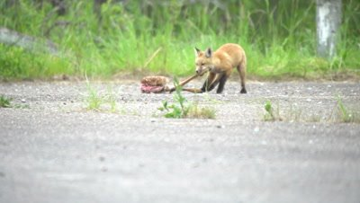 4K Red Fox pup chewing on deer leg - NOT Colour Corrected