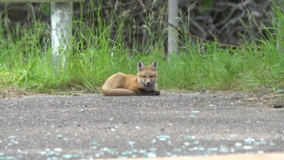 4K Red Fox pup lying down - NOT Colour Corrected