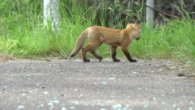 4K Red Fox pup lying down, get up walks away - NOT Colour Corrected