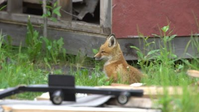 4K Red Fox pup watching from behind garbage, gets up and walks away - NOT Colour Corrected