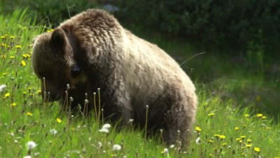 4K Grizzly grazing on grass and dandelions hill side, claws at ground - SLOG2