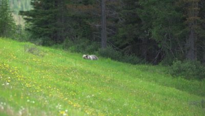 4K Grizzly grazing on grass and dandelions hill side, Trees behind, Wide Shot