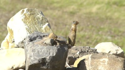 4K Ground Hog standing on rock pile - NOT Colour Corrected