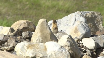 4K Ground Hog standing on rock pile, head on shot - SLOG2