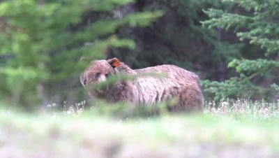 4K grizzly Bear eating grass in meadow under trees raise head tag in ear