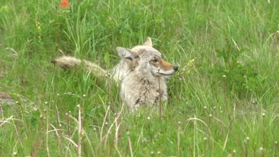 4K Coyote resting in grass looking around, Tight Shot - NOT Colour Corrected